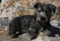 Glen of Imaal terrier - from Scotland